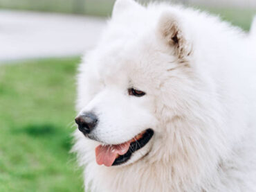 6 Dog Breeds That Look Like Wolves