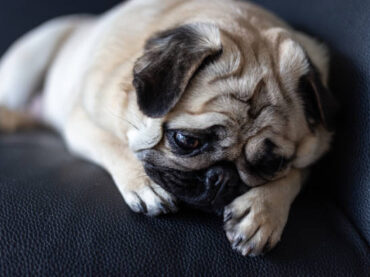 Why Dogs Cry